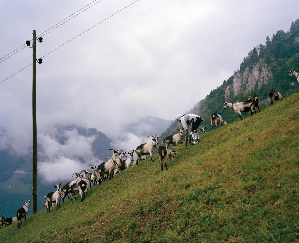 Goat Project 045